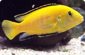 желтые цихлиды