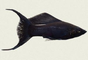 черная моллинезия