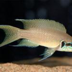 Рыбка Прицесса Бурунди