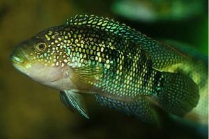 Аквариумная рыбка демасони