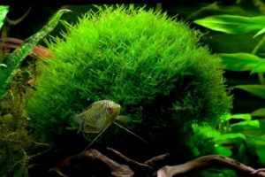 Аквариумное растение Яванский мох