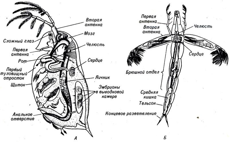 планктон в домашних условиях