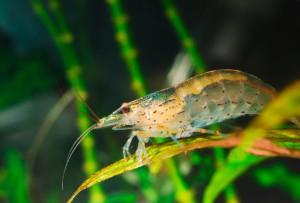Креветки Амано, Amano Shrimp