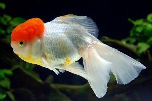 Рыбка Красная шапочка