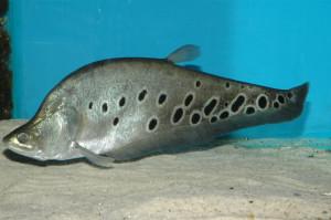Рыба Индийский нож