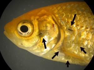 Чешутся рыбки в аквариуме