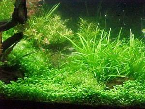 растения для живородящих рыб