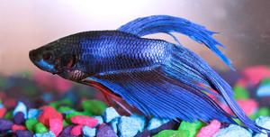 Лабиринтовые аквариумные рыбки
