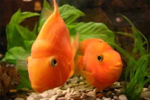 Аквариумные рыбки Попугаи