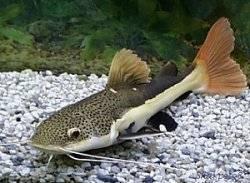 Аквариумные рыбки Сомики