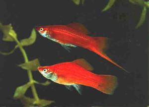 красные меченосцы: самец и самка