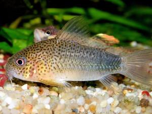 Аквариумные рыбки Сомики Коридорасы