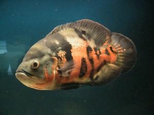 Аквариумные рыбки Астронотусы