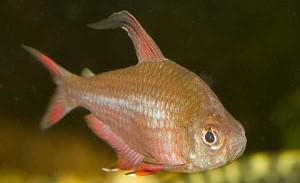 Аквариумные рыбки Орнатусы