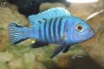 Аквариумные рыбки Псевдотрофеусы