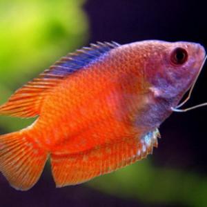 Аквариумные рыбки Лялиусы