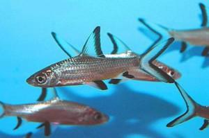 Пресноводные аквариумные рыбки