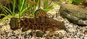 Аквариумные рыбки сомы таракатумы