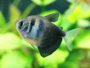 Аквариумные рыбки Тернеции