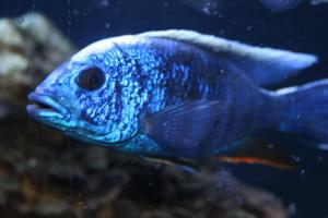 Аквариумные рыбки Хаплохромисы