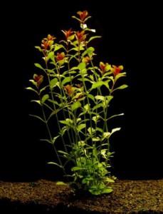 Аквариумное растение Людвигия