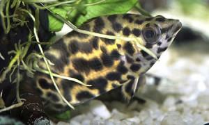 Леопардовая ктенопома