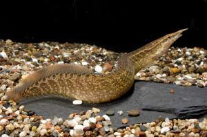 Аквариумная рыбка Мастацембел