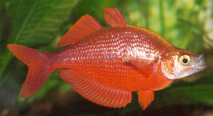 Красная атерина