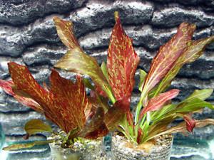 Эхинодорус красный