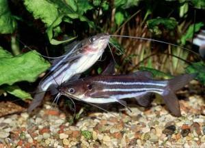 Аквариумная рыбка Мистус