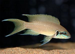 Аквариумная рыбка Прицесса Бурунди