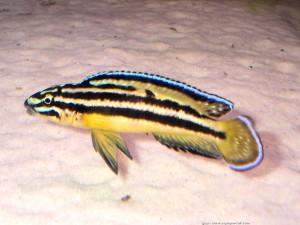 Аквариумная рыбка Юлидохромис