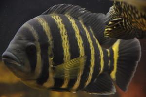 Аквариумная рыбка Тиляпия