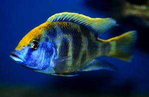 Аквариумная рыбка Леопард