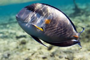 Аквариумная рыбка Хирург