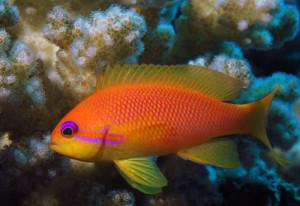 Аквариумная рыбка Антиас