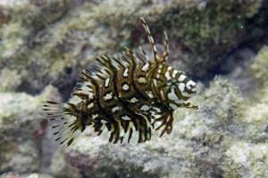 Аквариумная рыбка Губан
