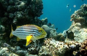 Аквариумная рыбка Сладкогуб