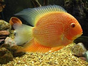 Аквариумная рыбка Ложный дискус или Северум