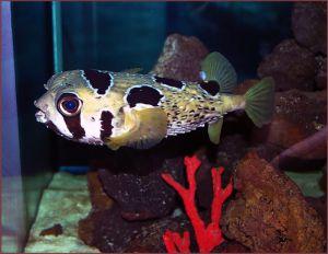 Аквариумные рыбки Собачки
