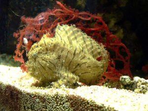 Аквариумная рыбка Морской черт
