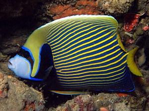 Морские аквариумные рыбки Большие ангелы