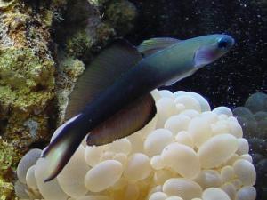 Аквариумная рыбка Дартфиш