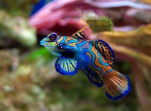 Аквариумные рыбки Мандаринки