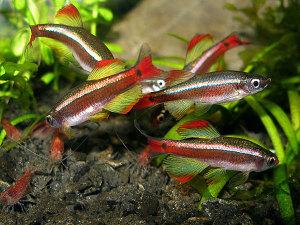 Аквариумные рыбки Морские кардиналы