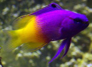 Аквариумная рыбка Баслет