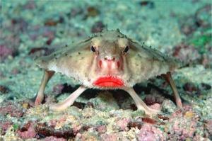 Аквариумная рыбка Летучая мышь, Batfish