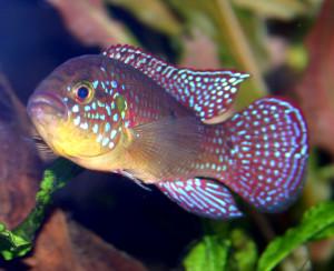 Аквариумная рыбка Хромис