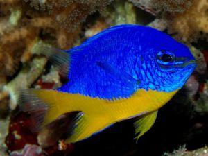 Аквариумная рыбка Дамсел
