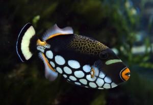 Аквариуная рыбка Спинорог